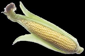 Corn Cob PNG Image PNG Clip art