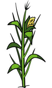 Corn Plant PNG File PNG clipart