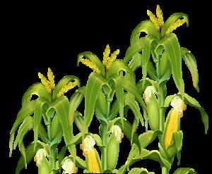 Corn Plant PNG Transparent Image PNG Clip art