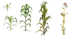 Corn Plant PNG Clip art