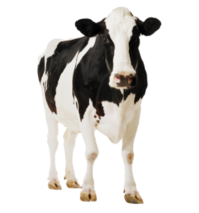 Cow PNG Clipart PNG Clip art