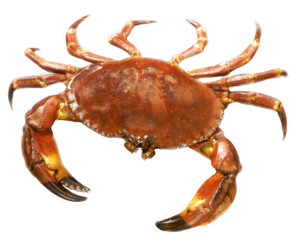 Crab PNG Image PNG Clip art