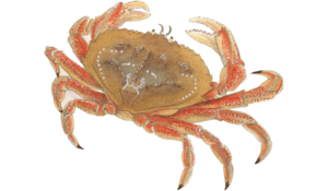 Crab PNG Pic PNG Clip art