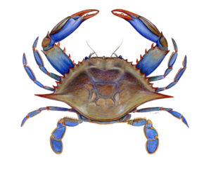 Crab PNG Picture PNG Clip art