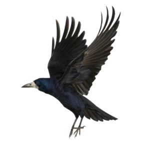 Crow PNG Background Image PNG Clip art
