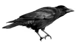 Crow PNG Photo PNG Clip art