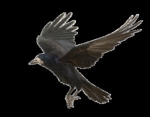 Crow PNG Photos PNG Clip art
