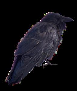 Crow PNG Transparent PNG Clip art