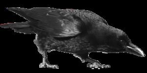 Crow Transparent Background PNG Clip art