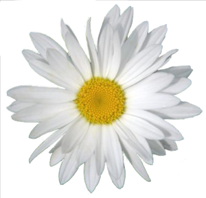 Daisy PNG Clipart PNG Clip art