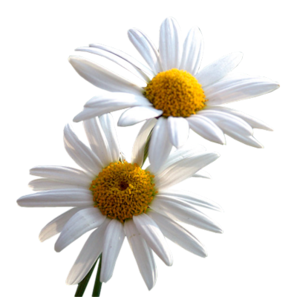Daisy PNG File PNG Clip art