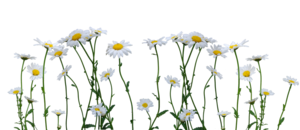 Daisy PNG Image PNG Clip art