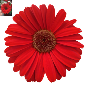 Daisy PNG Photos PNG Clip art