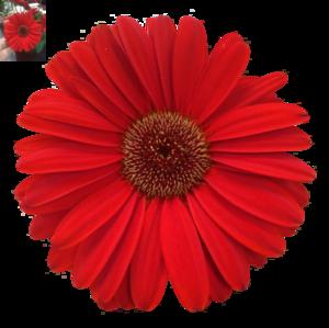 Daisy PNG Photos PNG Clip art