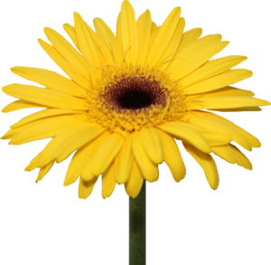 Daisy PNG Pic PNG Clip art