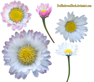 Daisy PNG Transparent Image PNG clipart