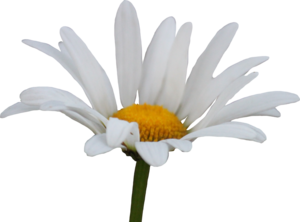 Daisy Transparent Background PNG clipart