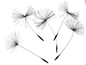 Dandelion PNG Photo PNG icon
