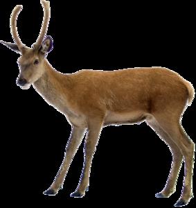 Deer On Highway PNG PNG Clip art