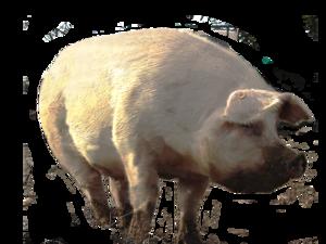 Dirty Pig PNG PNG Clip art