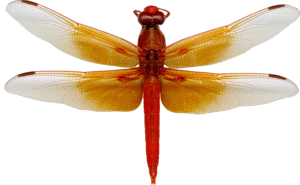Dragonfly PNG Image PNG Clip art