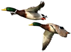 Duck PNG Free Download PNG Clip art