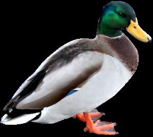 Duck PNG HD PNG Clip art