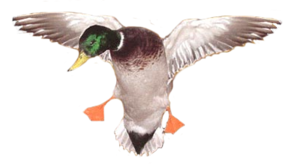 Duck PNG Image PNG Clip art
