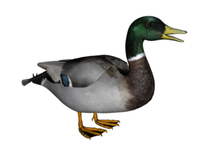 Duck Transparent Background PNG Clip art