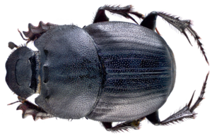 Dung Beetle PNG File PNG Clip art