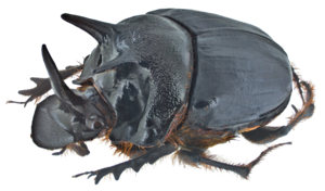 Dung Beetle PNG Transparent Image PNG image