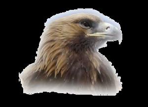 Eagle Head PNG Clipart PNG Clip art