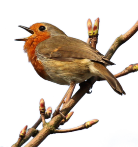 European Robin PNG Photo PNG Clip art