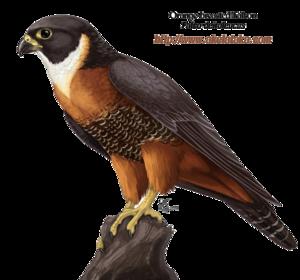 Falcon PNG Photos PNG Clip art