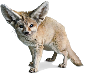 Fennec Fox PNG Photos PNG Clip art