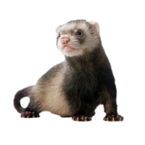 Ferret Download PNG Image PNG clipart