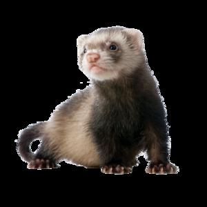 Ferret Download PNG Image PNG Clip art