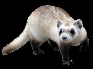 Ferret PNG Background Image PNG Clip art