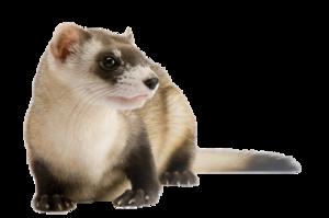 Ferret PNG File PNG Clip art