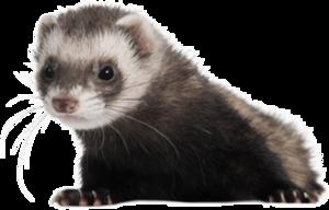 Ferret PNG Free Download PNG Clip art