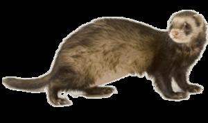 Ferret PNG HD PNG Clip art