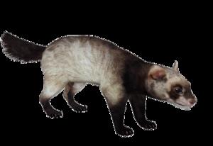 Ferret PNG Image PNG Clip art