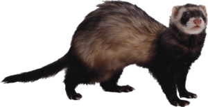 Ferret PNG Photo PNG clipart