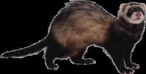 Ferret PNG Photo PNG Clip art