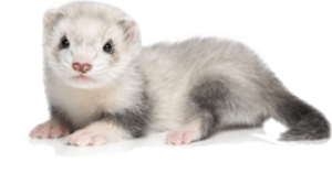 Ferret PNG Picture PNG Clip art