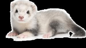 Ferret PNG Picture PNG Clip art