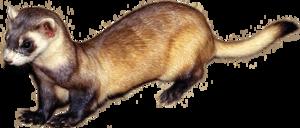 Ferret PNG Transparent Image PNG clipart