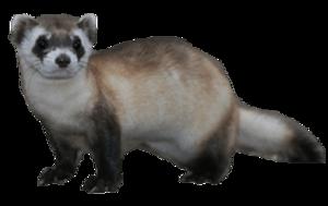 Ferret PNG Transparent PNG Clip art