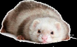 Ferret Transparent Images PNG Clip art