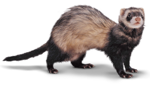Ferret Transparent PNG PNG clipart